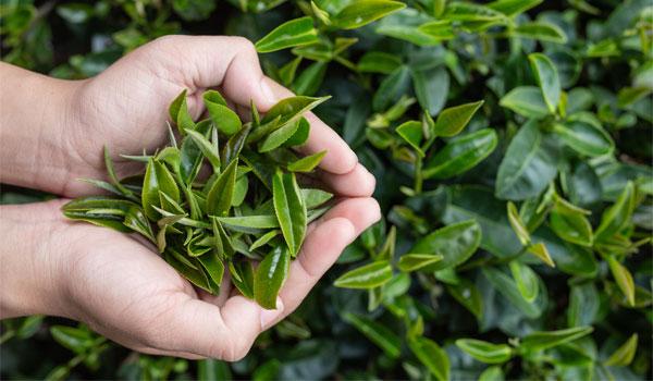 Teh hijau digunakan untuk diet sehat