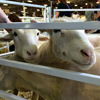New England Fall Events_The Big E_Agriculture_Sheep and Goats