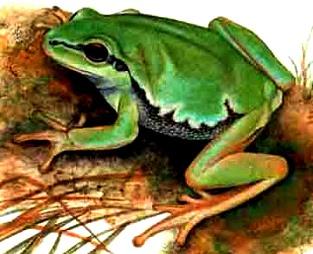 Imagen de una rana parada para niños