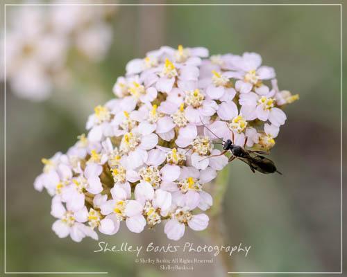 Prairie wildflowers yarrow in a soft shade of pink mightylinksfo
