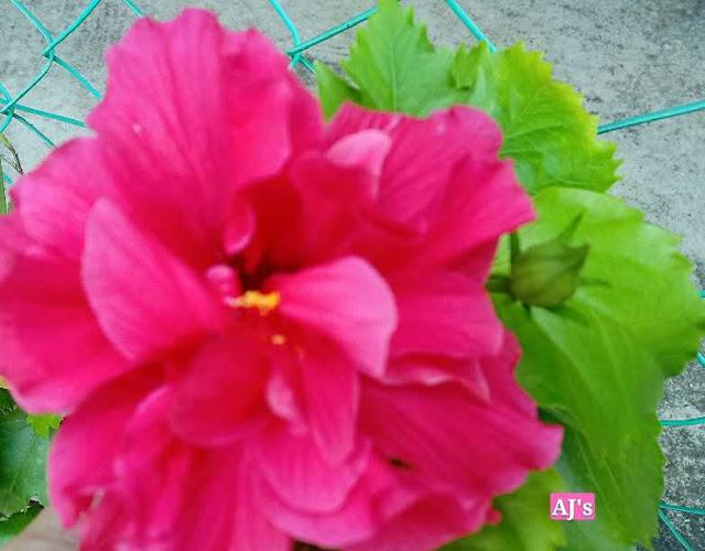 bunga raya pink berlapis