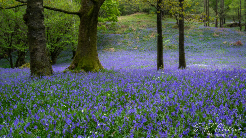Bluebell wood, Orton effect