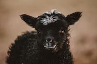 Black Lamb - Photo by Annie Spratt on Unsplash