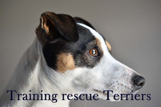 Training rescue terriers