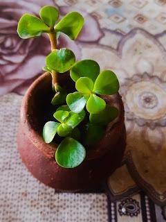 Growing Jade plant