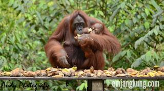 habitat orangutan tanjung puting