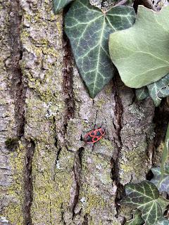 Ivy protection from Pyrrhocoris apteris - firebug.