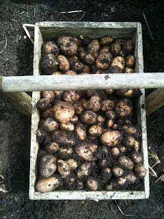 gardening, potato blight, life on pig row