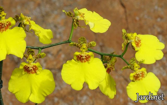 Oncidium Chuva-de-Ouro amarela