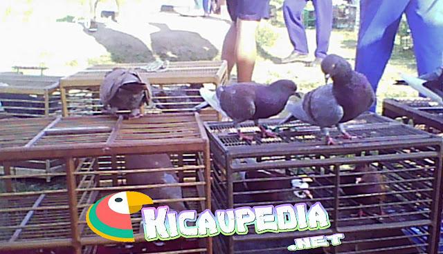 Cara Menjemur Burung Merpati Agar Berstamina