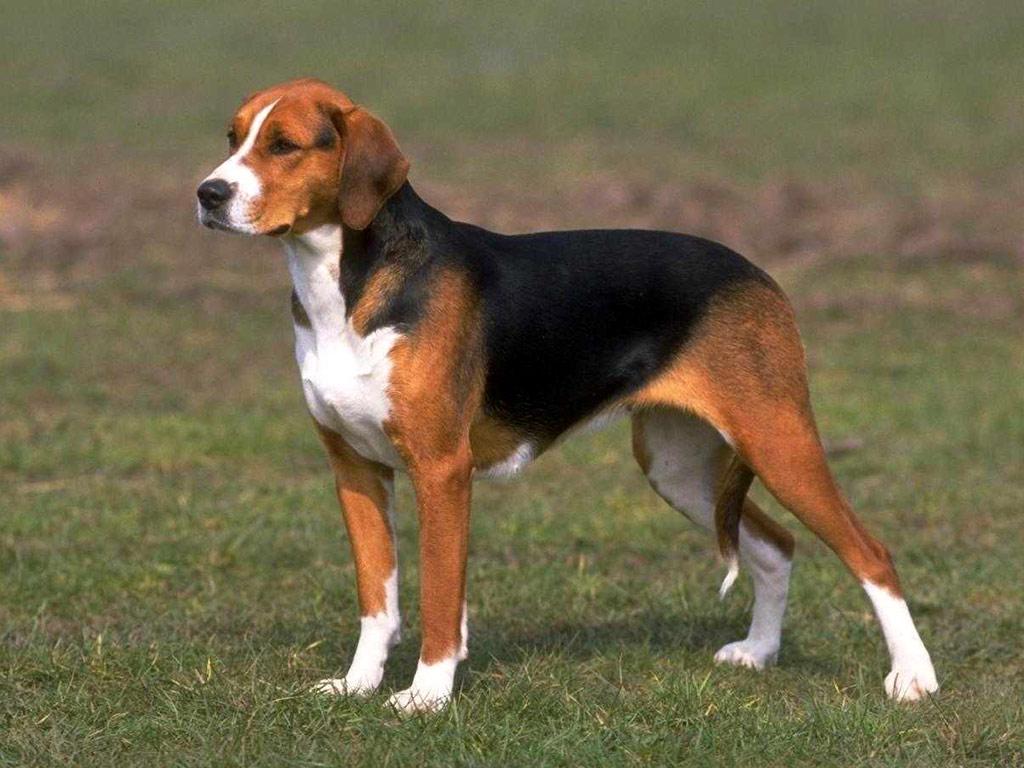 Photo chien beagle adulte - Chien beagle adulte ...