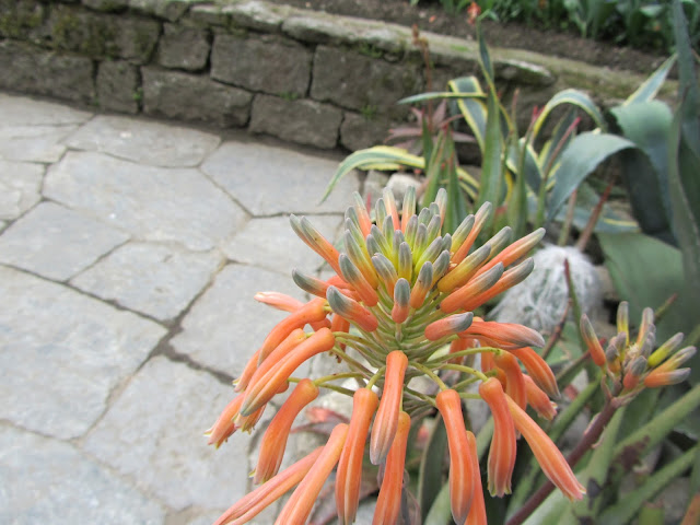 Fiori Aloe maculata