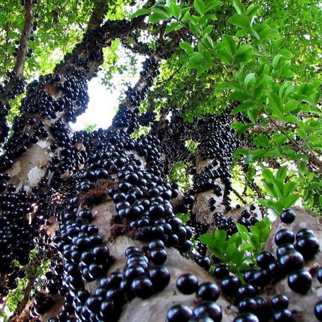 Siap Kirim! Bibit Buah Anggur Freco 40 cm BIBIT TERBAIK Kota Jakarta #Jual bibit buah