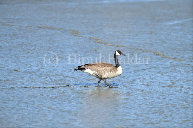 Canada Goose Walking in the mud
