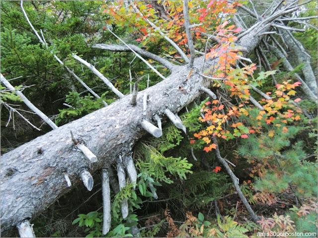 Vegetación del Parque Nacional Acadia en Maine