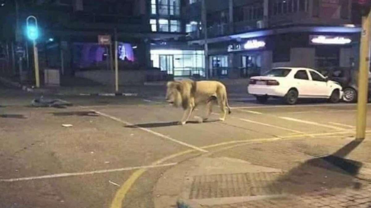lion on a street breaking newa