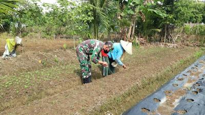 Babinsa Langung Bantu Petani Tanam Kangkung Untuk Tambahan Ekonomi Di Masa Pandemi