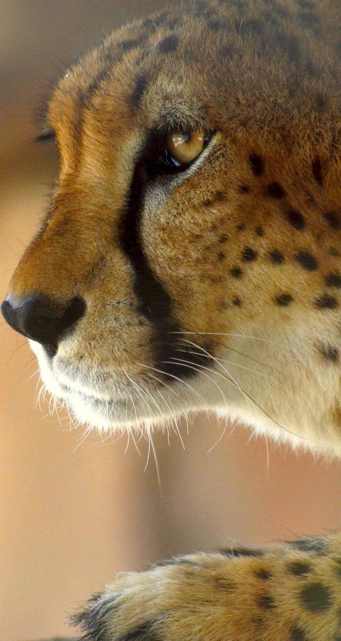 Cheetah face.