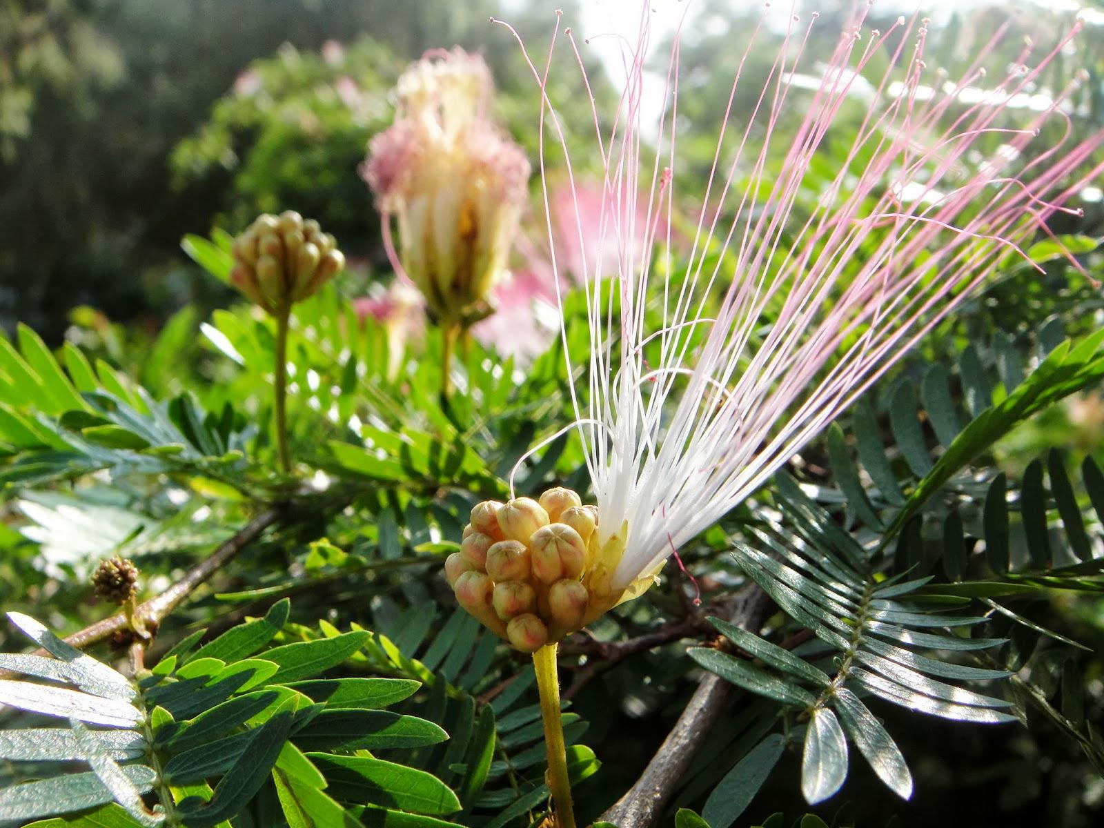 DWAN雲之端: 粉撲花--花語是:心靈的秘密;學名:Calliandra surinamensis Benth.;英文名:Surinam Calliandra;又叫:粉紅 ...