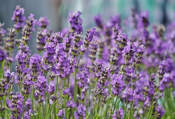 Violet Lavender