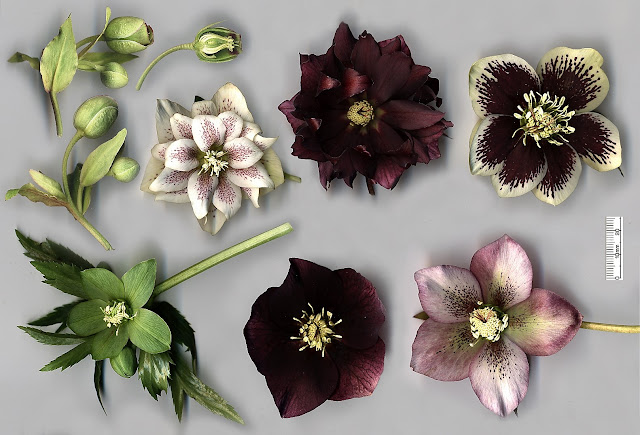 hellebore flowers of mixed colour
