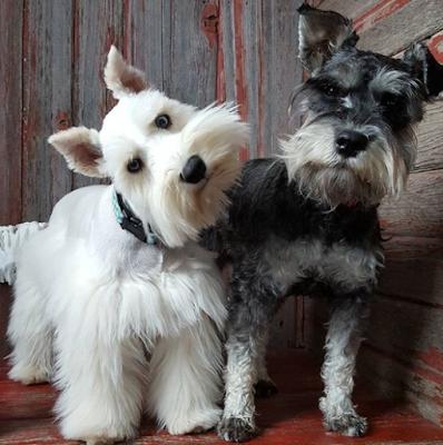 Schnauzer Dog breeds