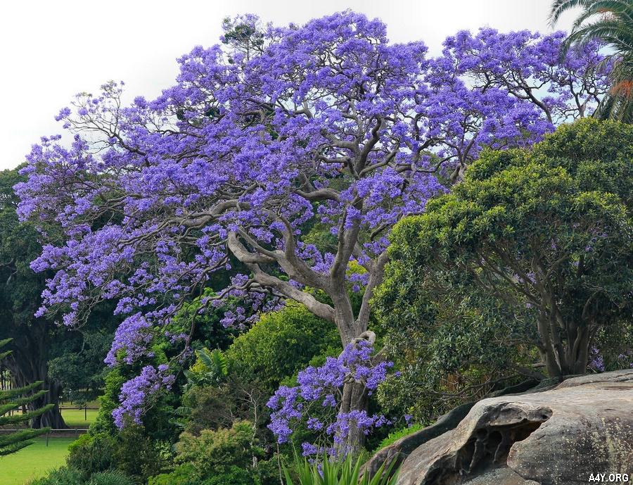 cây phượng tím nở đẹp