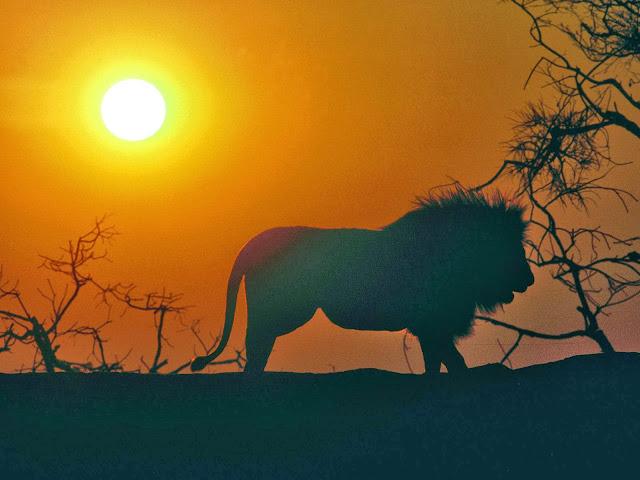 Foto van een leeuw bij zonsondergang in Afrika