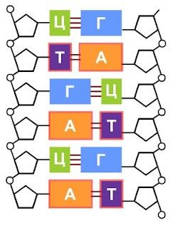 Нуклеотиды в ДНК образуют друг с другом комплементарные пары