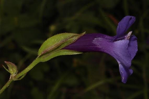 Torenia concolor