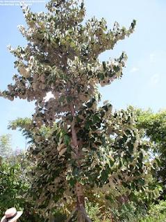 Tumbuhan BAYUR SALAH SATU Tumbuhan Sangat jarang DI INDONESIA