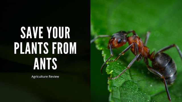 ways to save your plants from ants