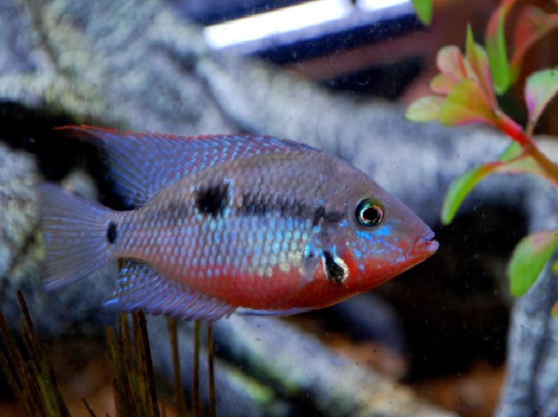 Klasifikasi sistematika ikan mulut api