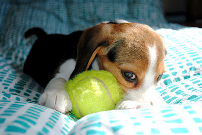 beagle puppies pictures