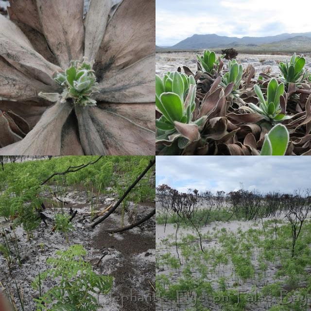 Leucospermum conocarpodendron and bracken