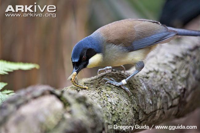 Blue-crowned Laughing thrush, Garrulax courtoursi