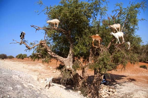 These tree climbing goats are more important than you'd think, though. - Imagine Driving Down The Road And Seeing THIS In The Trees. Seriously, This Is Crazy.
