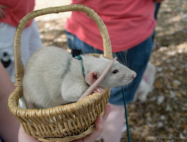 Oliver the therapy rat in his basket
