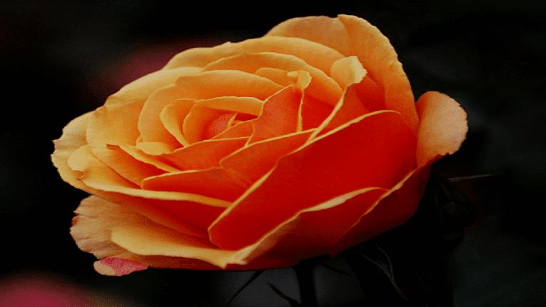 Puisi Cintamu Mawar Jingga Berlumur Kasih