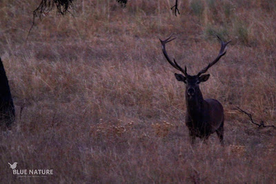 Macho de ciervo común (Cervus elaphus) - Red deer male