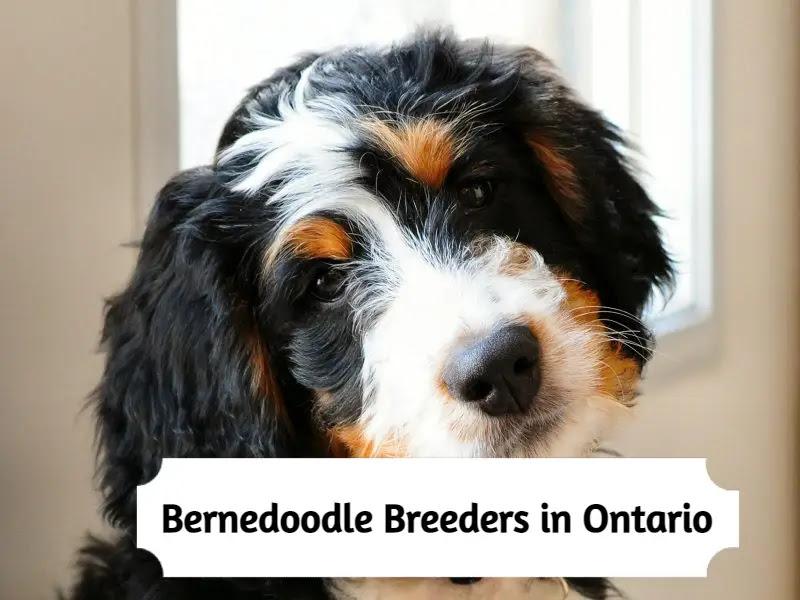 bernedoodle-breeders-in-ontario