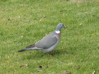 Pigeon ramier - Palombe - Columba palumbus