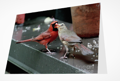 This is a screen shot of a card which I'm selling on Fine Art America. It features two very amorous Northern cardinals. The male is at the left side of the photo and he is feeding a female who is at the  right. When cardinals feed each other, they do it beak to beak. Info re this card is @ https://fineartamerica.com/featured/cardinal-love-2-patricia-youngquist.html?product=greeting-card