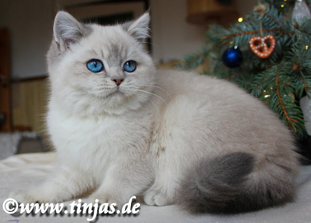 BKH Katzenzucht tinjas