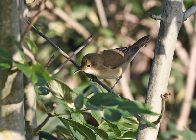 Reed Warbler- Hope Point