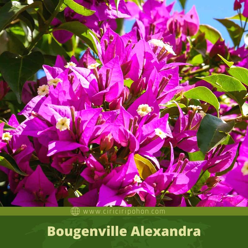 Bougenville Alexandra