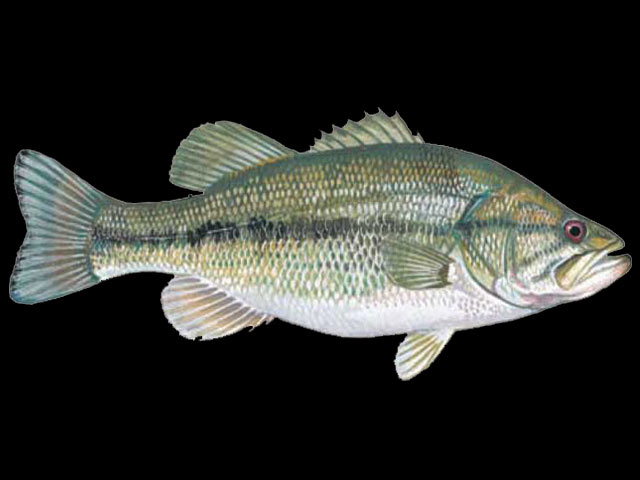 Freshwater Fish Names Starting With L Animals Name A To Z