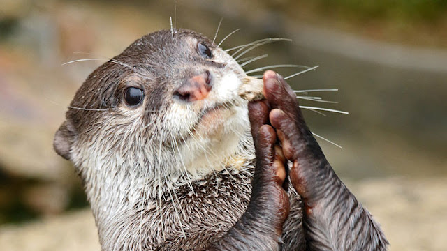otter clasping hands
