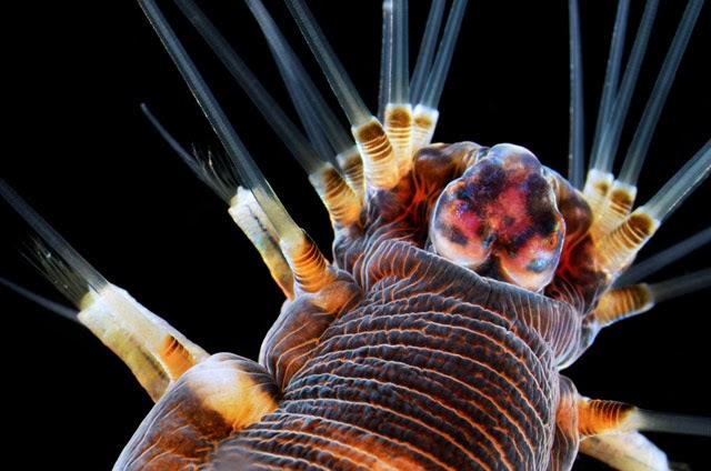 Verme marinho, ampliação de 20x, Dr. Alvaro Migotto,  Brasil