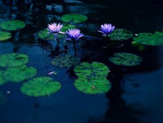 Gambar Bunga Teratai Terindah di Dunia 13